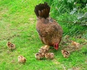 Chuck & Chicks